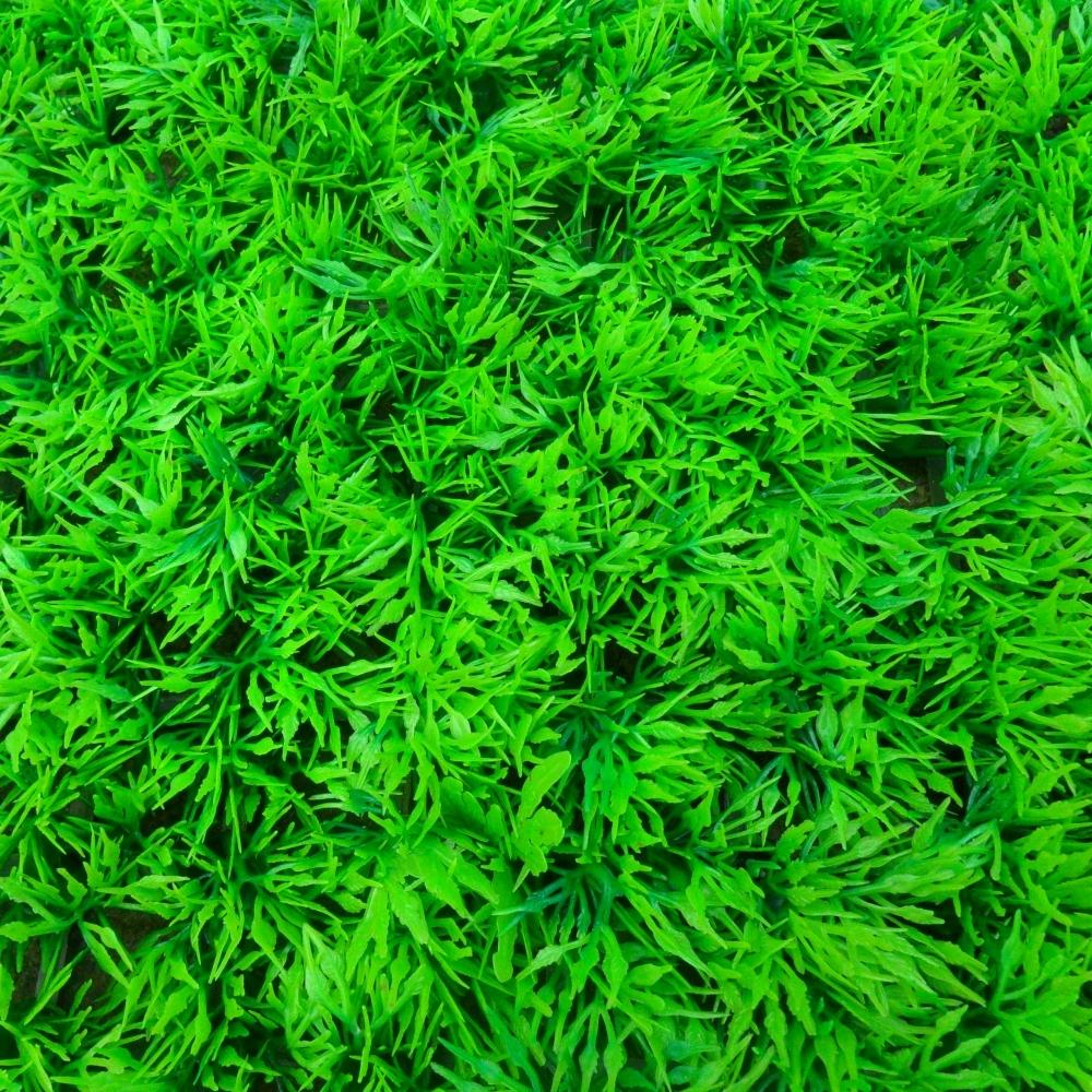 台北草 草皮-1個