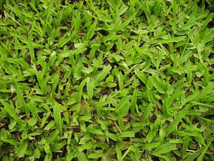 台灣地毯草